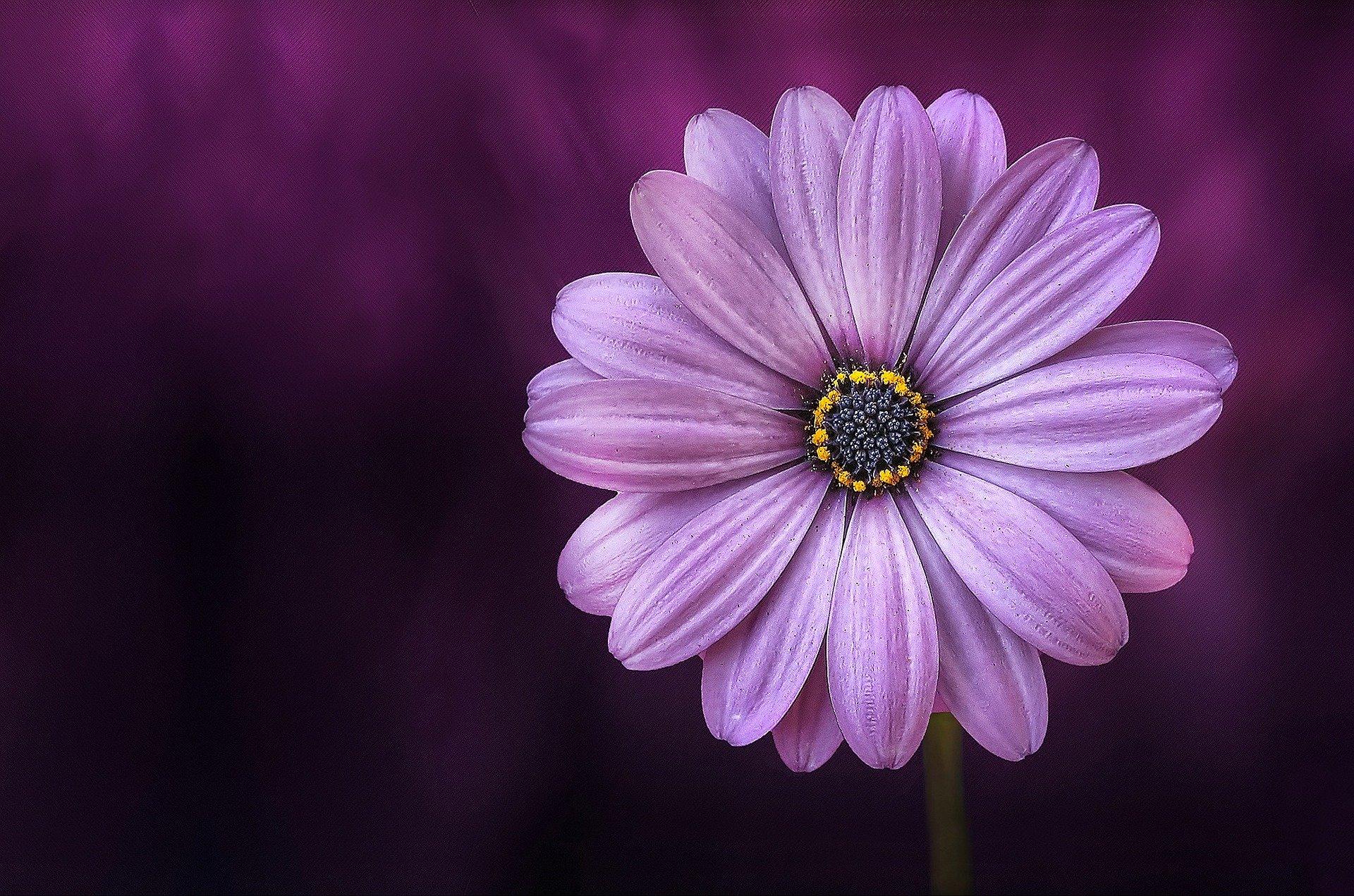 kuvituskuva lilanvärinen kukka